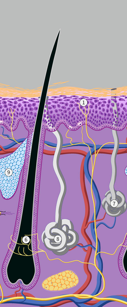 eccrine glands apocrine glands